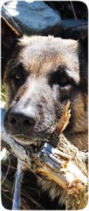 Hund mit Ast